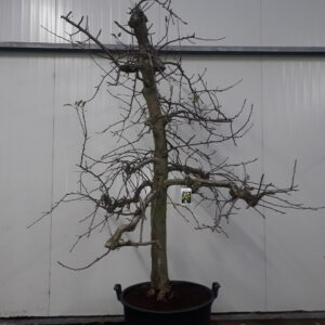 Malus Golden Delicious 30-40 C130 ltr.